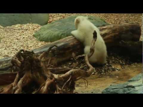 La sorellina dell'orso Knut è la nuova star dello zoo