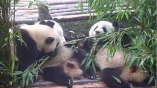 Video : China : More pandas !