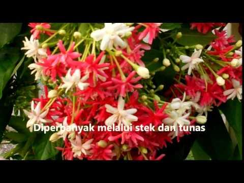 Video Melati Belanda yang Indah dan Berkhasiat