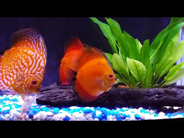 Discus aquarium - fish tank.. relaxing