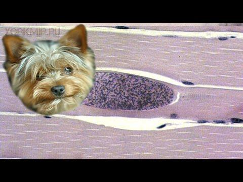 Саркоспоридиоз у собак | Причины | Симптомы | Лечение.