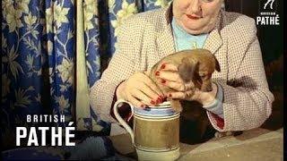 Miniature Dachshund Pups (1957)