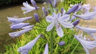 「愛の花」アガパンサス