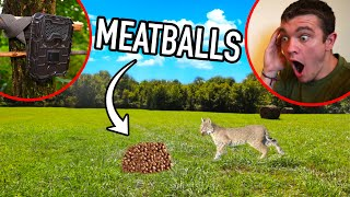 What Will Eat 10 POUNDS of MEATBALLS in the Wilderness???