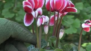 Cyclamen Plant Care - Indoor Growing Conditions