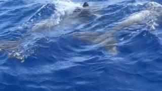 Mahi Fishing Charter In Marathon Gets Dolphin Show