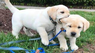 Funniest & Cutest Golden Retriever Puppies #27 - Funny Puppy Videos 2019