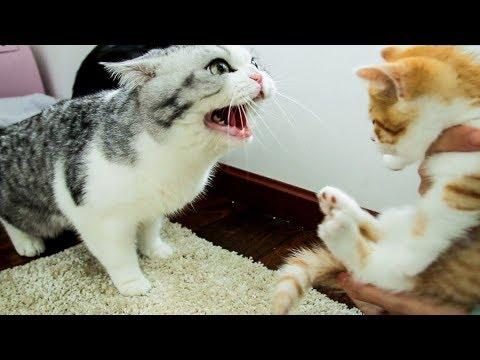 家裡來了隻小橘貓,大貓們直接炸毛:丟出去,它會吃窮咱家的!