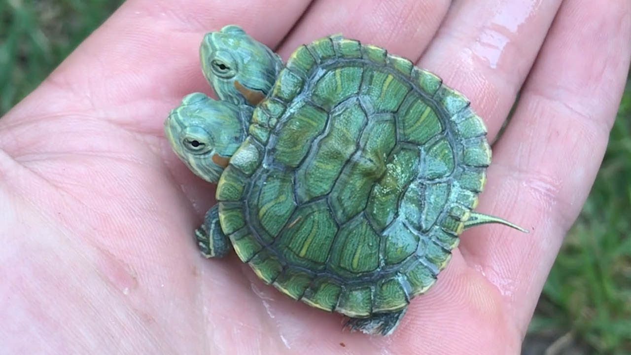 Черепаха с двумя головами