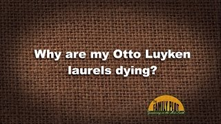 Q&A - Why are my Otto Luyken laurels dying?