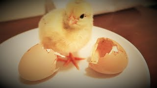 Our CHICKS Are Hatching!!! - First Time Hatching Chicks From an Incubator!