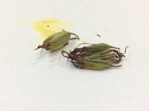 Bawang gatas labatiba bata para sa mga worm
