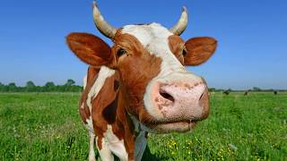Мычание коровы