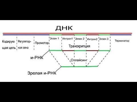 Структура гена