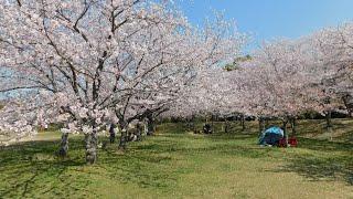 石ケ谷公園 桜