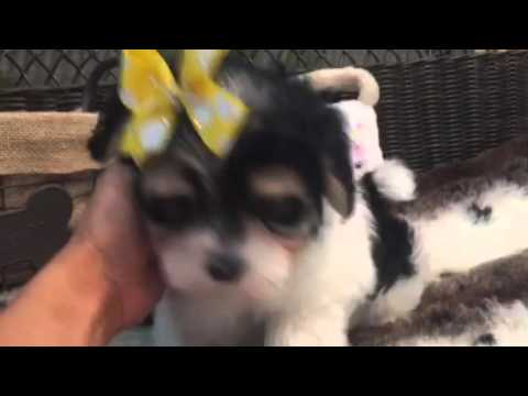 Sweet morkie female looking for someone to love