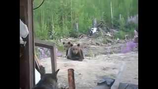 собака от медведицы не спасла