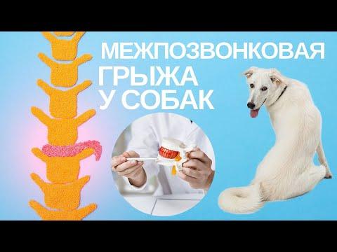 Межпозвонковая грыжа у собак.