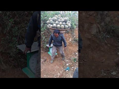 Невероятно сильные сборщики ананасов