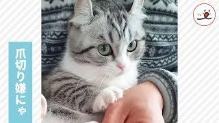 もうヤメて😾💦爪切りイヤイヤニャンコとパパのやりとり♡PECOTV