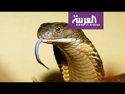 العرب اليوم - شاهد: ثعبان آلي عجيب طوّرته جامعة أميركية لتصوير الأماكن الوعرة