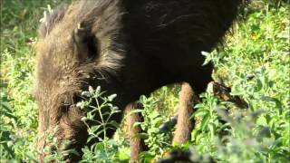 preview picture of video 'Wildschwein schaut mich an - Wild boar looks at me'