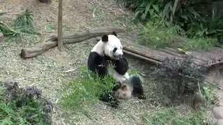 Singapore River Safari; Cute Giant Pandas Eating