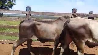 Bovino Corte Mestiço Vaca 16-20@ - e-rural Imagens