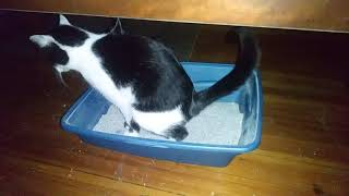 6 month old kitten going pee and poop in litter box