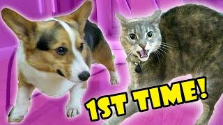 CORGI DOG MEETS ANGRY CAT -- FAIL || Life After College: Ep. 522