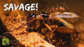 Weaver Ants Drag a Cricket into their Nest (feat. Animalogic)