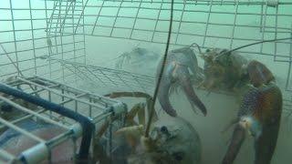 GoPro   Trapping Huge Crayfish Underwater Crawfish Crawfishing
