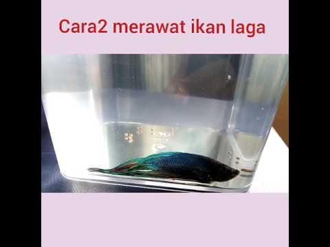 Video Cara2 merawat ikan laga betta cupang yang sakit.