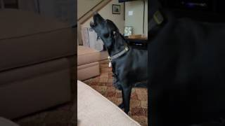 animale cainele canta