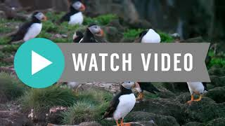 Why You Must Like Atlantic Puffin ? Watch Full Video  | Sea Parrot