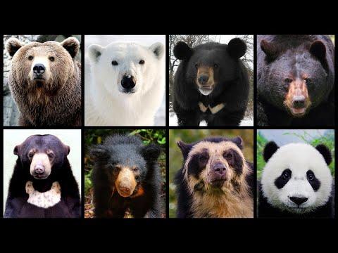 Kupas Tuntas Informasi dan Fakta Tentang 8 Jenis Beruang yang Masih Ada Hingga Saat Ini