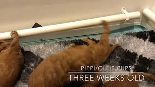 Pippi/Ollie Pups Three Weeks