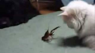 FUNNIEST KITTIES Lobster VS Cat