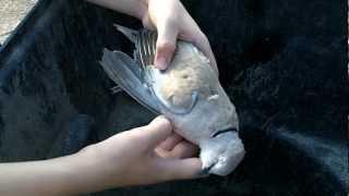 Eurasian Dove, an invasive species.
