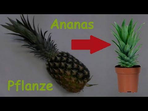 Ananas Pflanze selber ziehen / Ananas vermehren & pflanzen / Exotische Frucht selber züchten - DIY