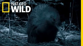 New Zealands Most Famous Bird | Wild New Zealand