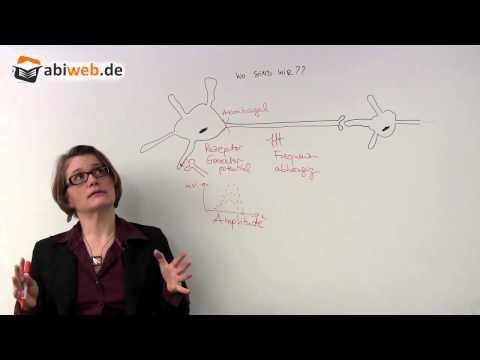 Abiturwissen Neurobiologie: Nervenzellen