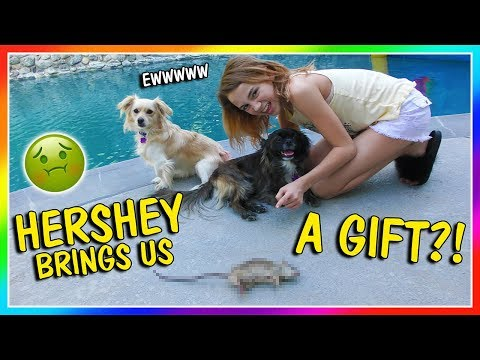 HERSHEY BRINGS ME A GIFT | We Are The Davises
