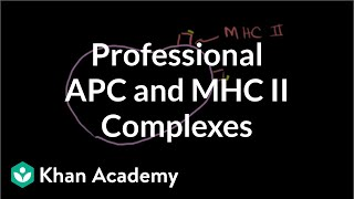 Professional Antigen Presenting Cells (APC) and MHC II complexes