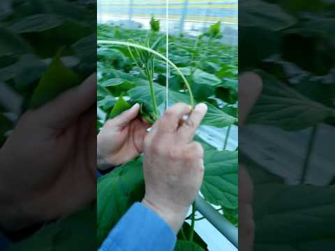 Como poner clip ala planta de pepino