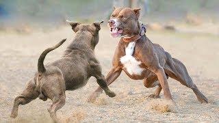 American Bully VS Pitbull Real Fight - Pitbull VS American Bully - Blondi Foks