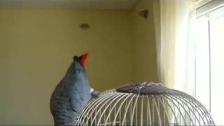 Rapu First Sports Predicting Parrot Expert  You Got To See Him Picking Winners    1