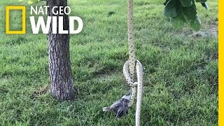 Two Hungry Snakes Fight Over a Bird in Rare Encoun...