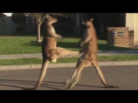 Behalwe spring, is kangaroos ook goed met boks…