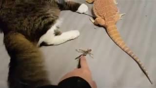 Кот Мурлок кормит ящерку саранчой.